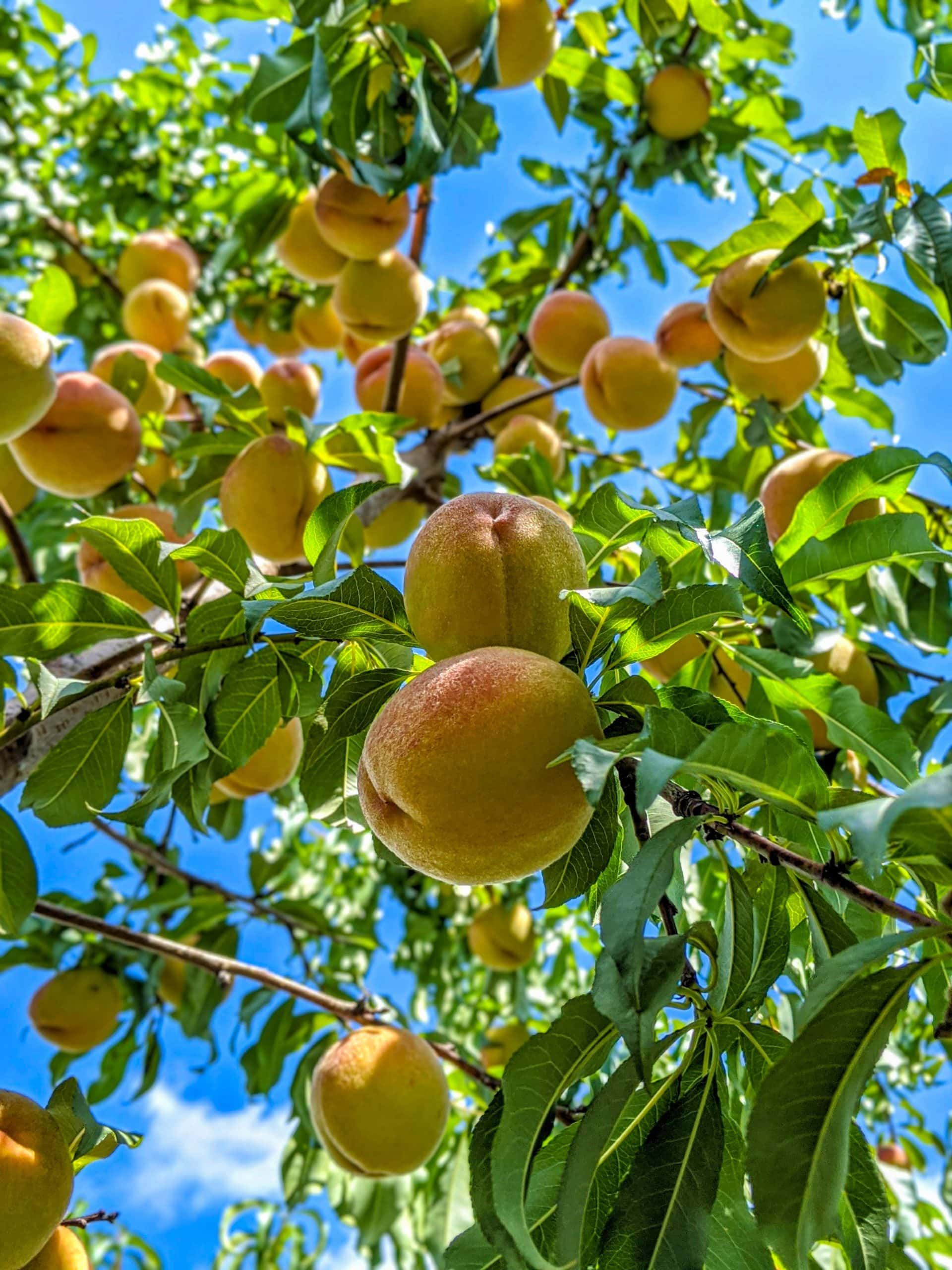 ripe vermont peaches on a tree at champlain orchards