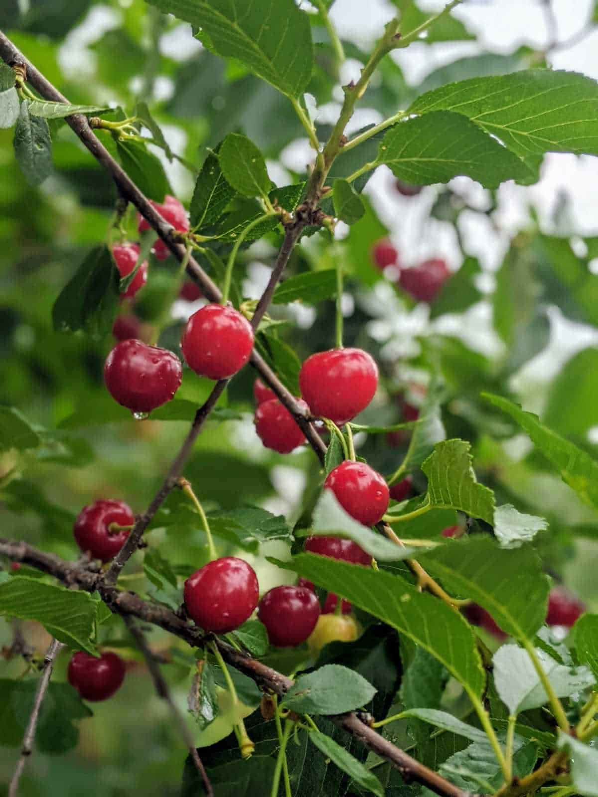 cherries in a tree